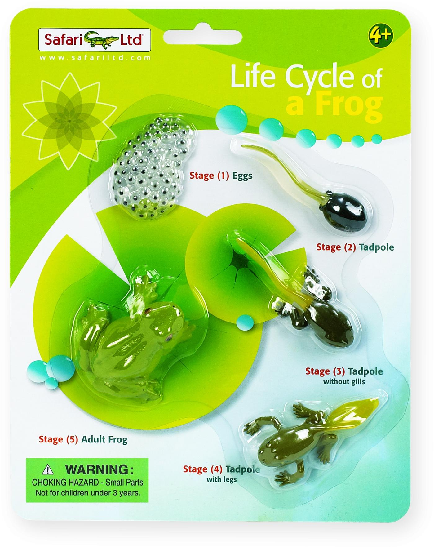 cycle of a frog The life cycle of a frog, known as metamorphosis, is the transition of a tadpole to an adult frog the life cycle starts with an egg, which hatches into a tadpole, the tadpole eventually.